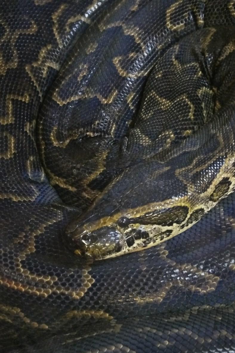Natal Rock Python snake