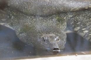 NILE SOFT-SHELLED TURTLE