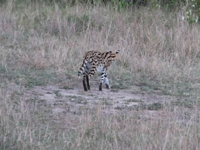 Serval (cat)