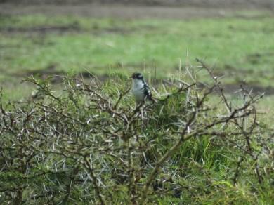 Diederick Cuckoo