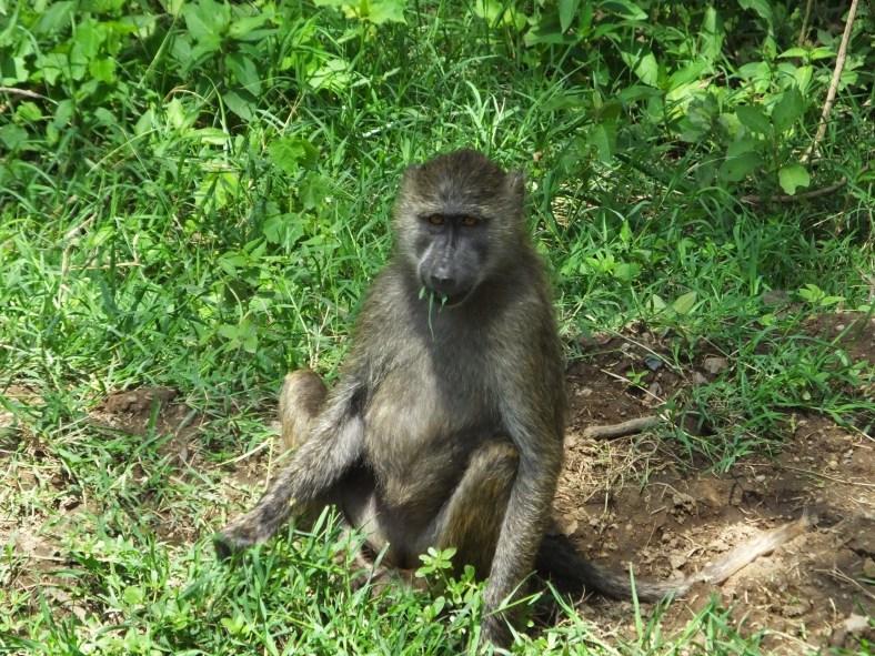 Savanna Baboon