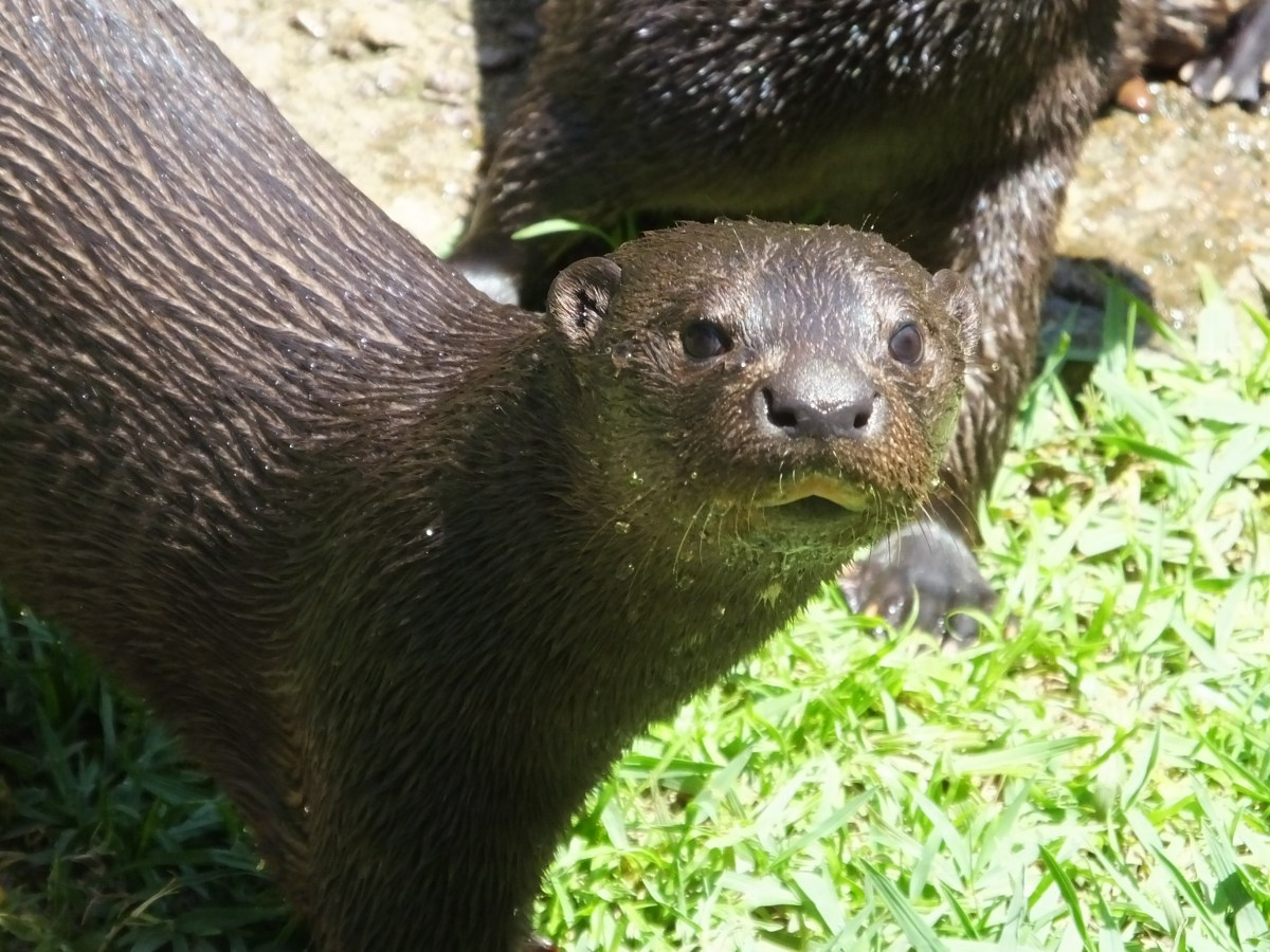 Image result for spotted-necked otter