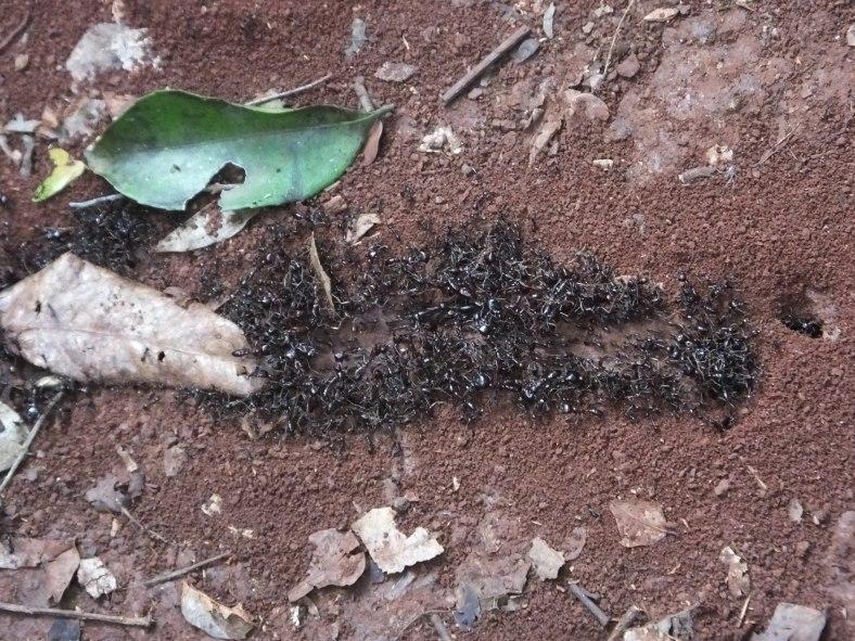 Safari Ants