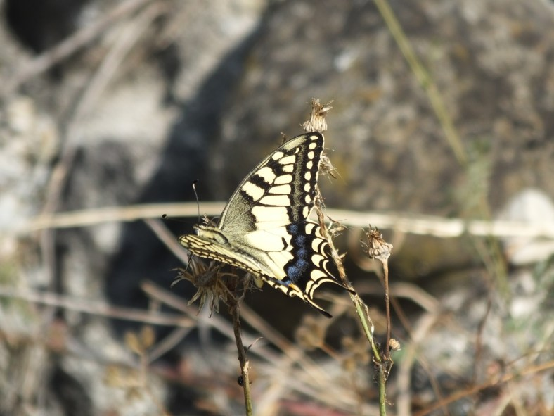 Common Yellow Swallowtail Butterfly