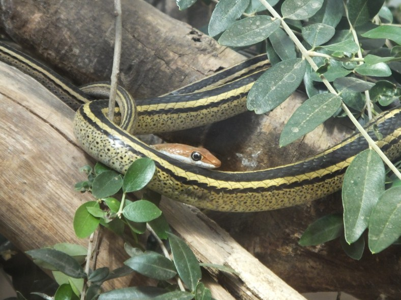 Southern Speckled Sand Snake