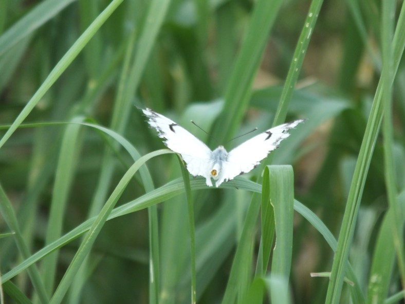 Brown-Veined White Butterfly
