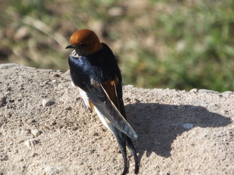 Lesser Striped Swallow