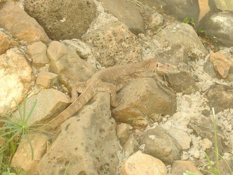 Savannah Monitor Lizard