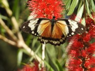 African Mocker Swallowtail Butterfly
