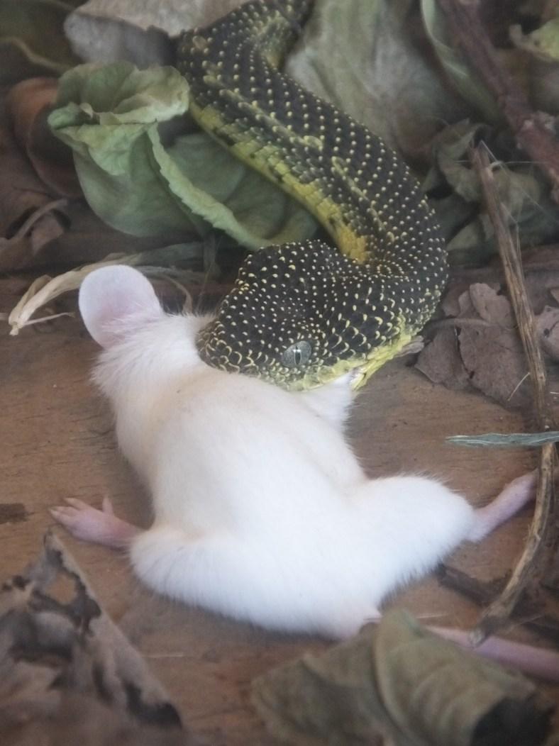 Mt Kenya Bush Viper