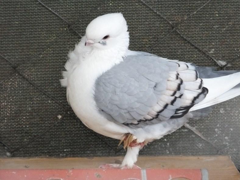 Bluette Pigeon