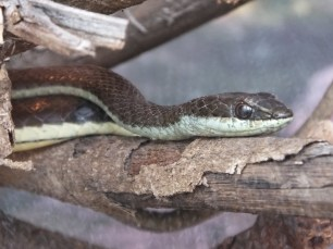 Eastern Stripe-Bellied Sand Snake