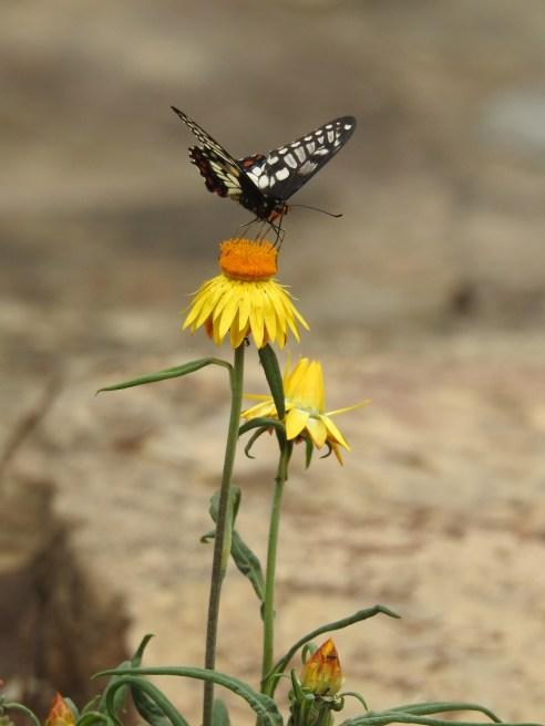 Dainty Swallowtail Butterfly