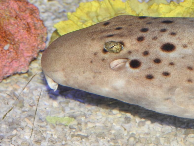 Epaulette Shark