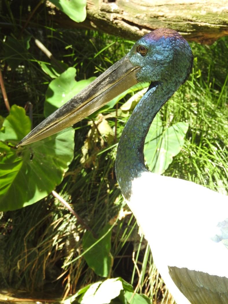 DSCN3546Australian Black-Necked Stork