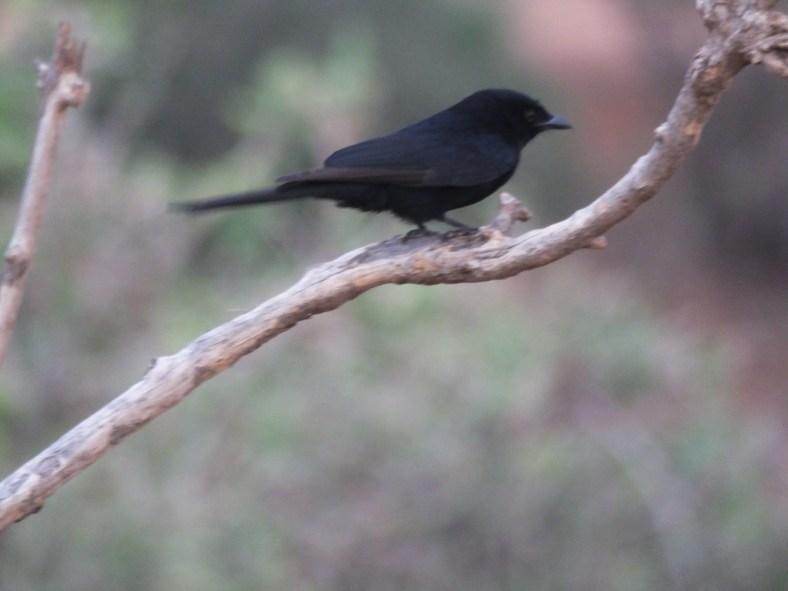 Southern Black Flycatcher