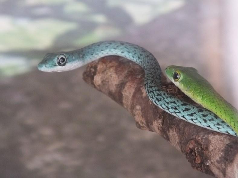 Speckled Green Snake