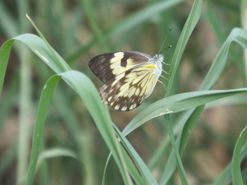 Zebra White Butterfly