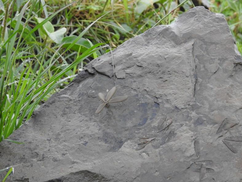 Termite alate