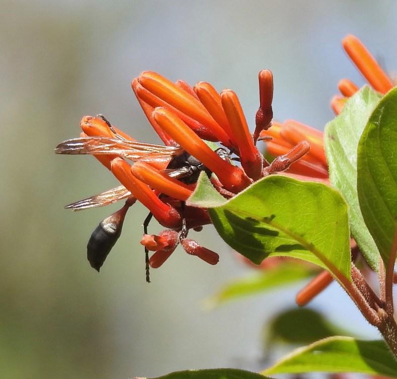 Large Mud-Dauber Wasp