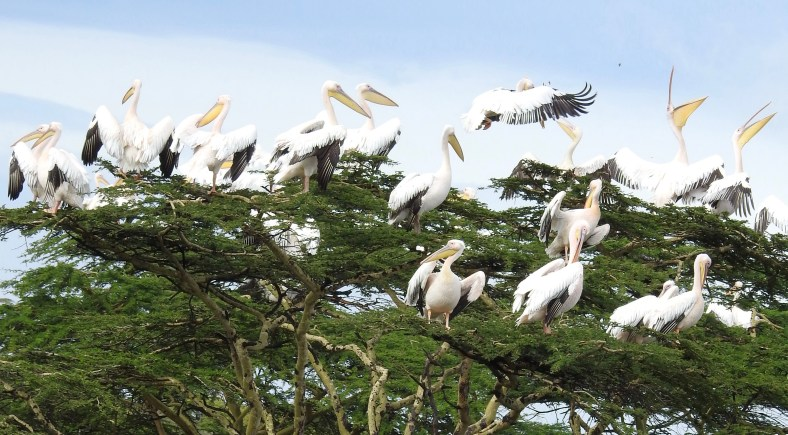Great White Pelican-2