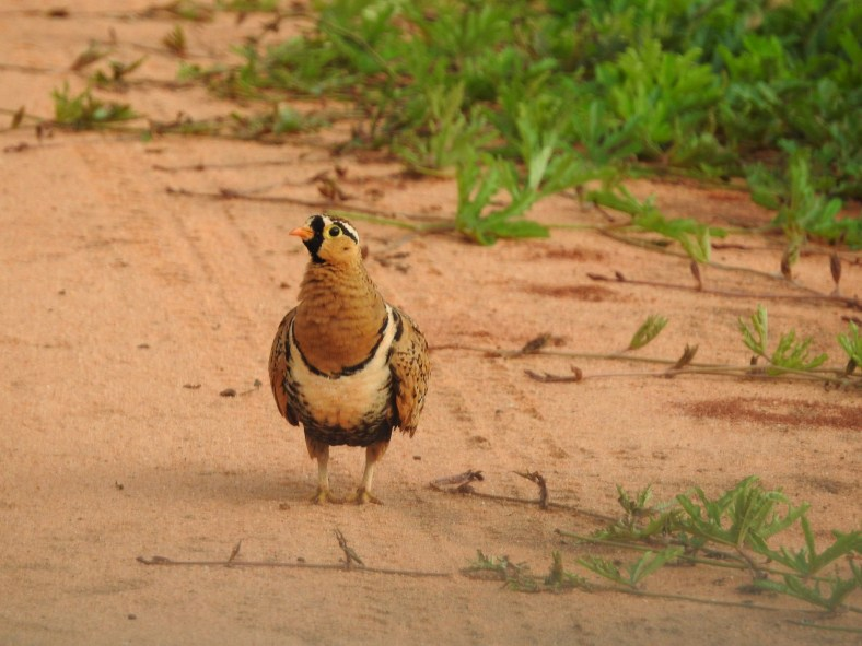 Black-Faced Sandgrouse