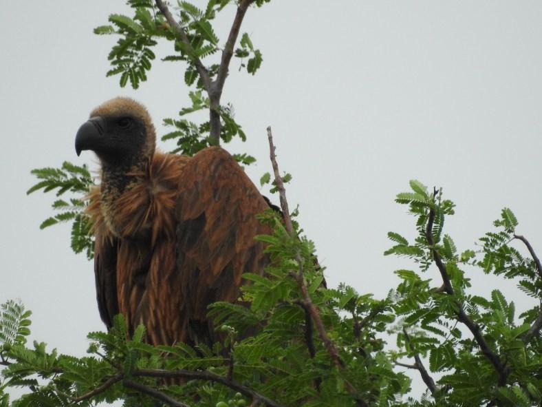 Rüppell's Griffon Vulture