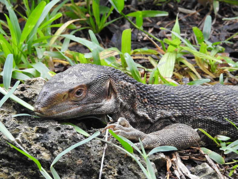 White Throated Savanna Monitor Lizard Similar But Different In The