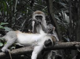 Vervet Monkey Grooming