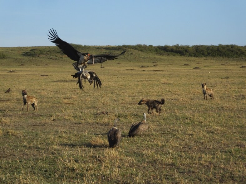 Spotted Hyena and African White-Backed Vulture