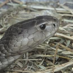 Snake - Head Shields (Scales)