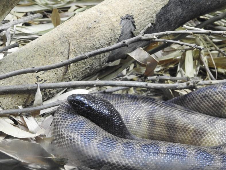Black-Heaed Python
