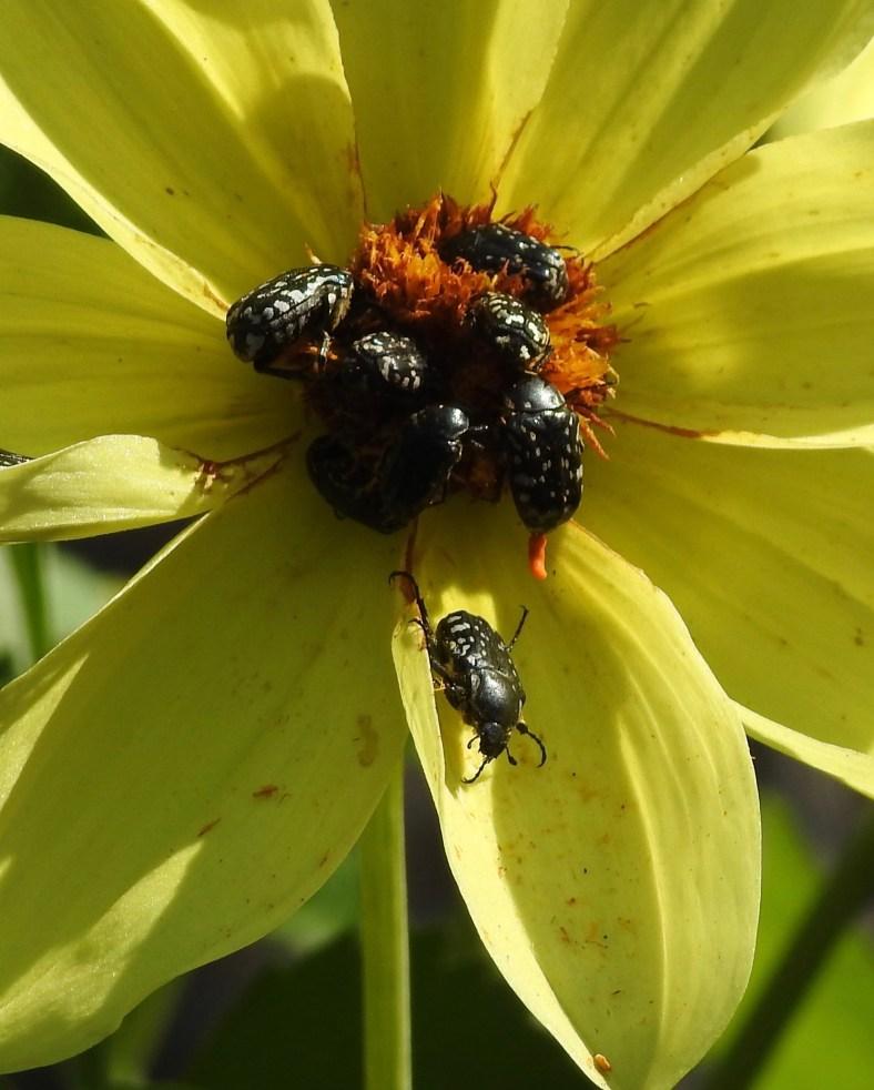 Euphratian Jewel Beetle