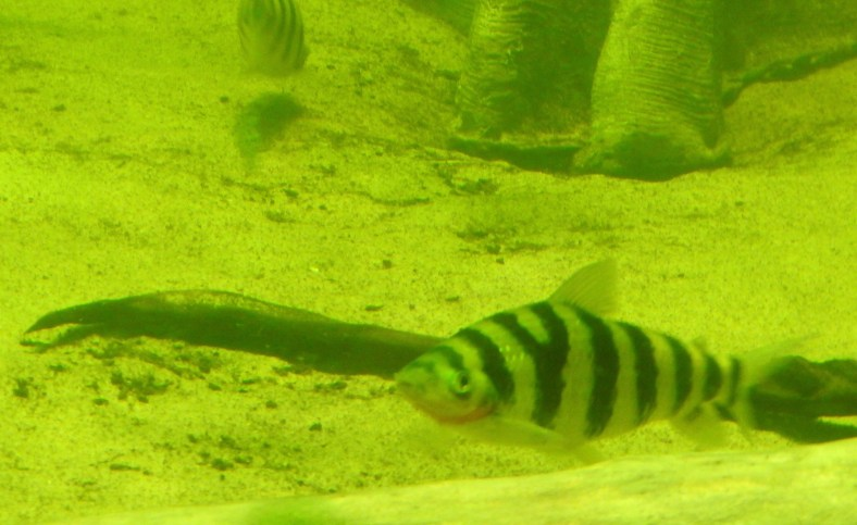 Y-Striped Leporinus