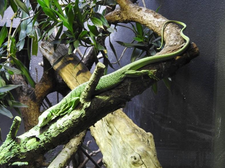 Emerald Tree Monitor Lizard