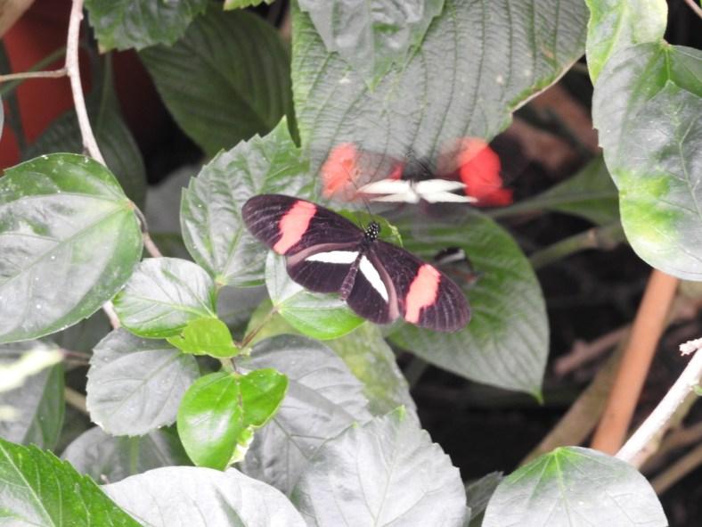 Postman Butterfly (Rose)