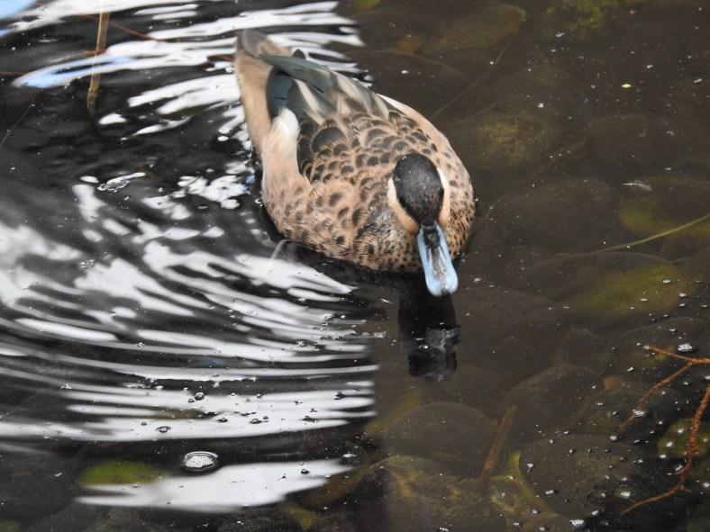 Madagascar Teal Duck