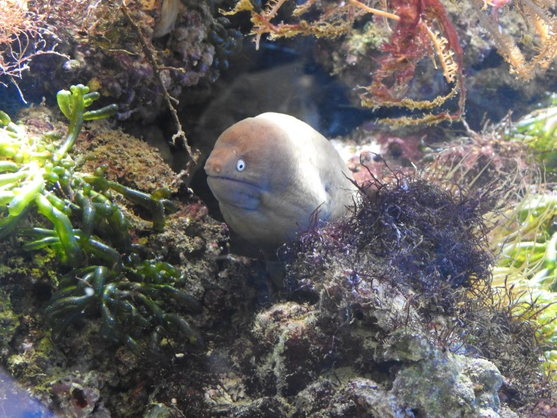 White-Eyed Moray