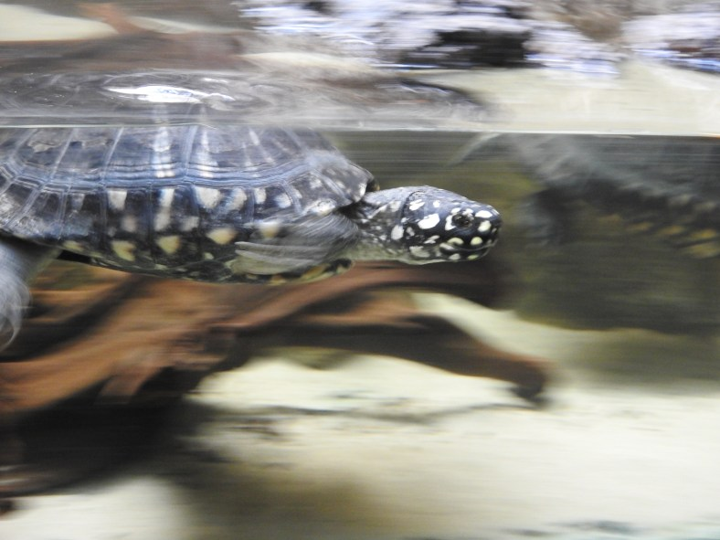 Black Spotted Turtle