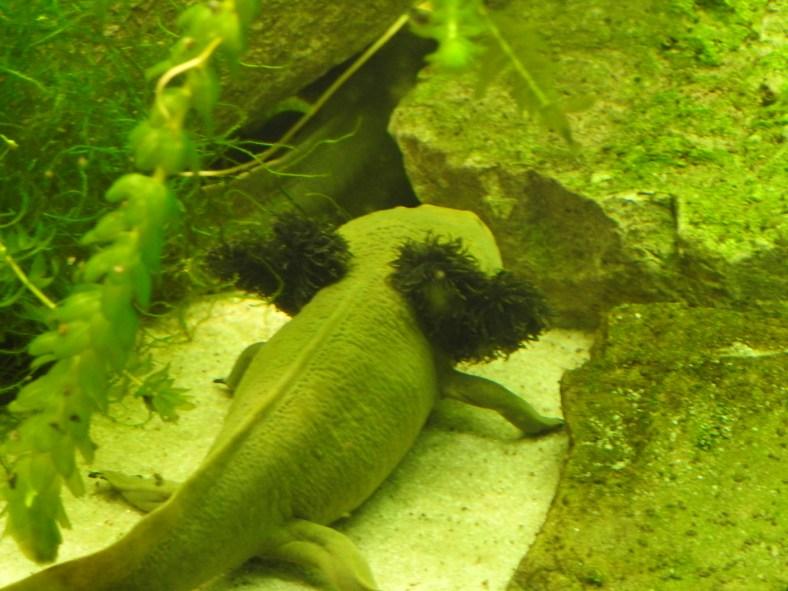 Lake Patzcuaro Salamander