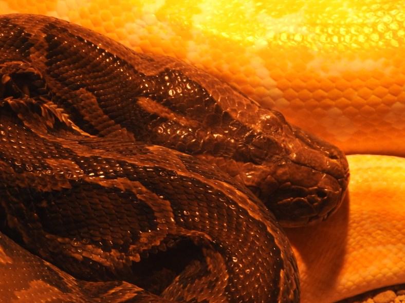 Burmese Python (albino)
