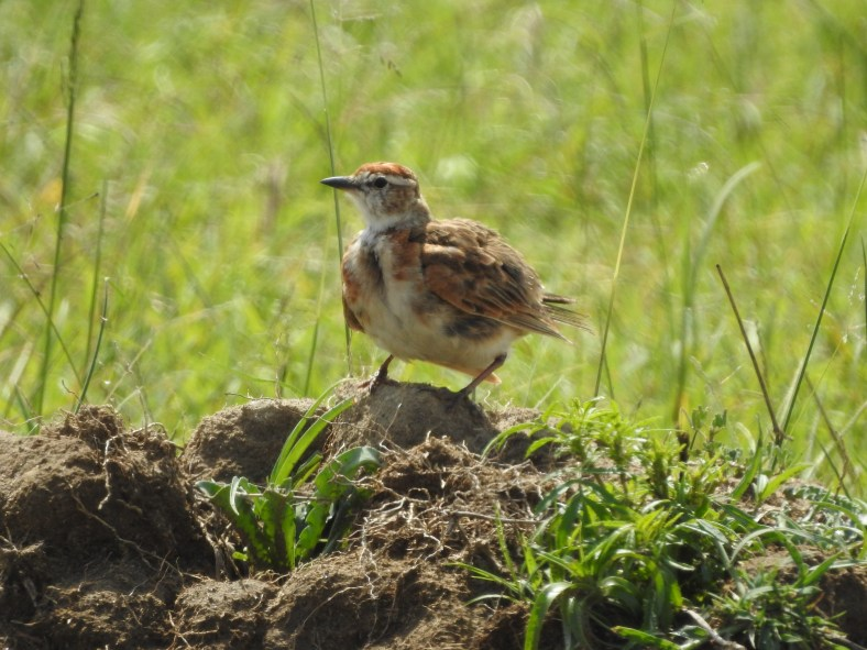 Kenyan Red-Capped Lark
