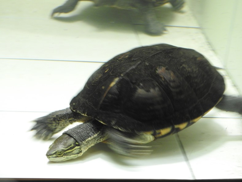 Annam Leaf Turtle