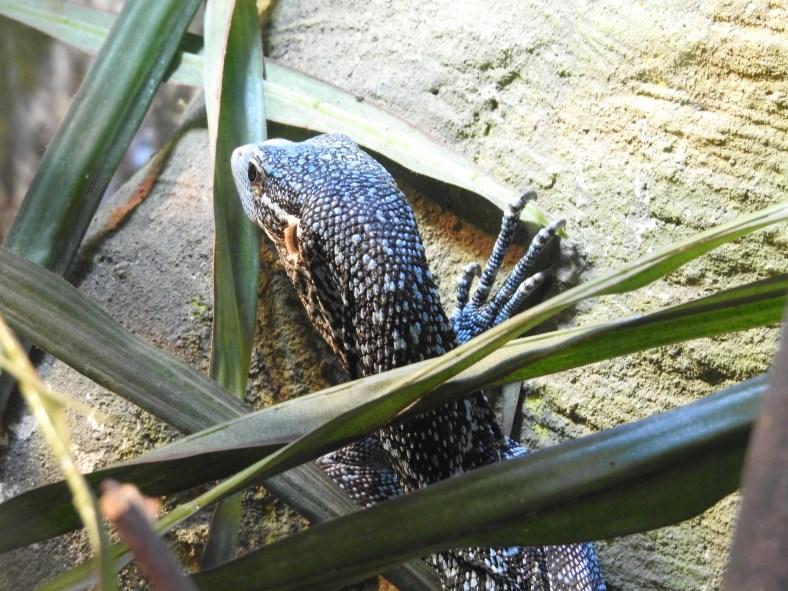 Blue Tree Monitor Lizard