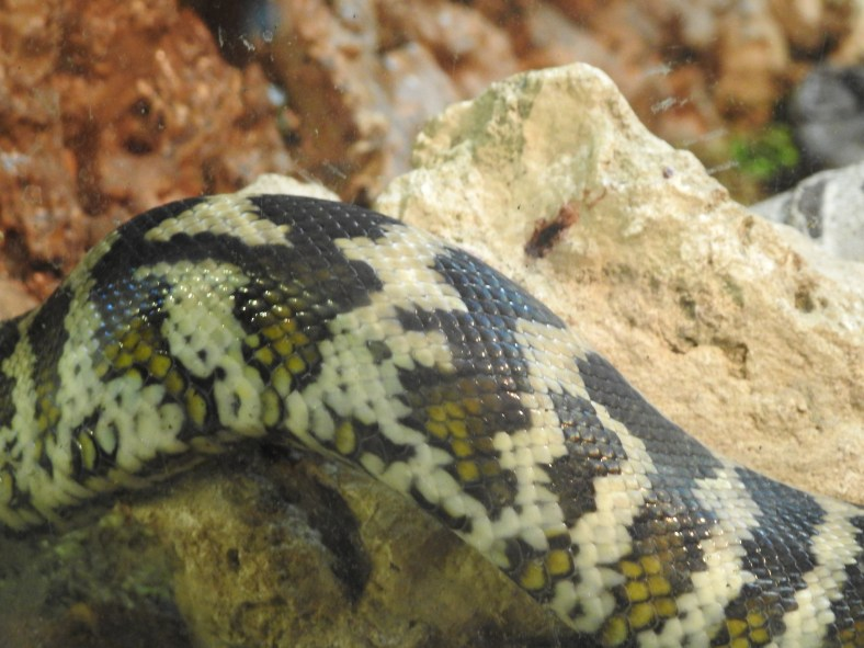 Northwestern Carpet Python