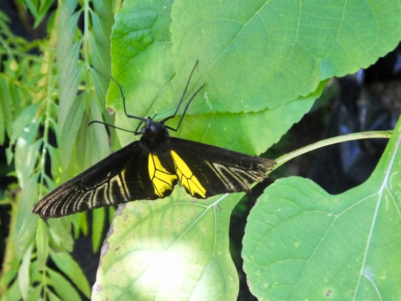 Common Birdwing Butterfly (male)