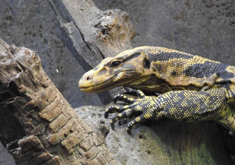 Yellow-Headed Water Monitor Lizard