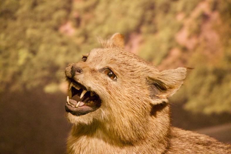 Caucasus Jungle Cat