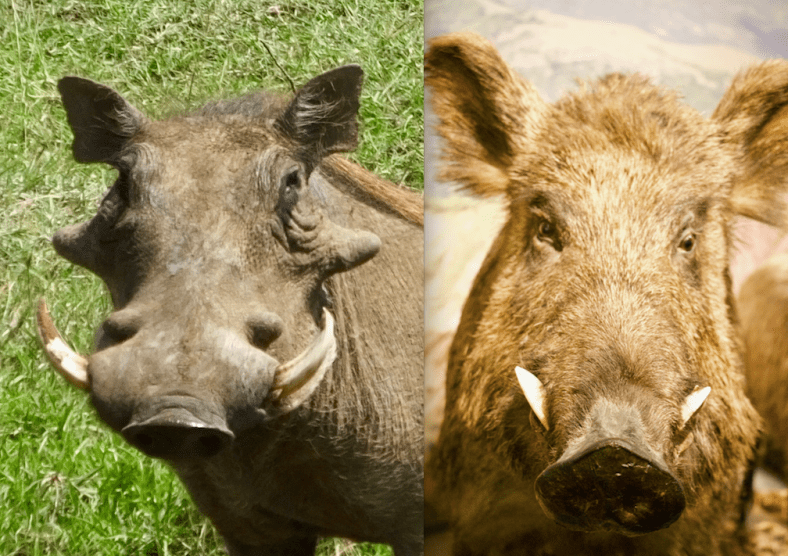 Warthog and Boar