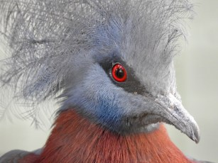SOUTHERN CROWNED PIGEON